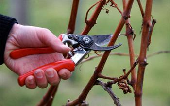 Как обрезать виноград к зиме