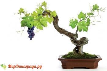 Выращивание винограда из косточки