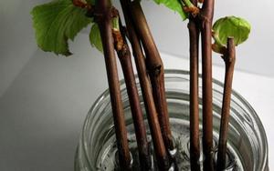Как размножать виноград чубуками