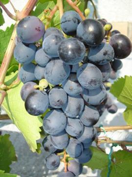 виноград донской агат