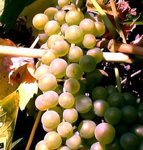 Виноград Бианка