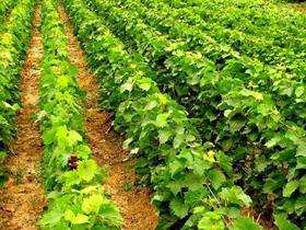 сроки посадки винограда