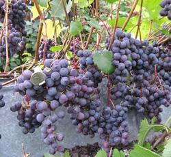 Виноград загадка шарова