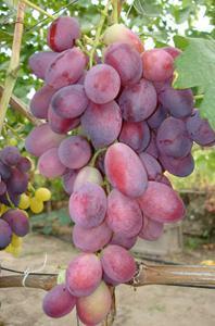 Внешний вид винограда Дунав