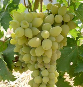 Виноград Галахад