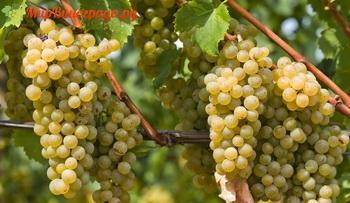 Сорт винограда Италия