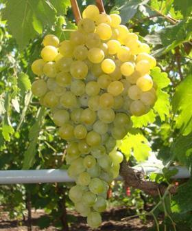 Виноград Фрумоаса албэ фото