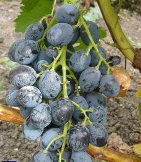 Сорт винограда победа фото и описание