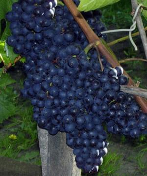 фото виноград кишмиш черный