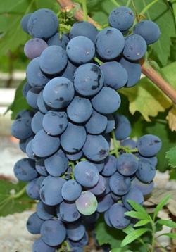 Виноград Сфинкс: фото , описание