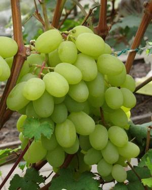 Фото сорта винограда Богатяновский