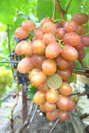 описание фото винограда Хамелеон