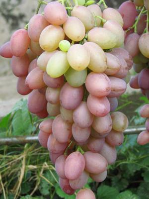 Виноград Денал - фото сорта