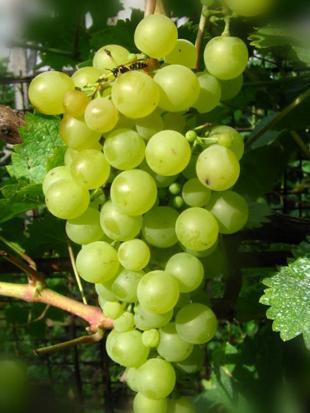 Виноград Шасла Белая фото , описание