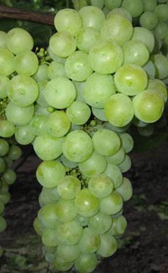 Сорт винограда Тур Хейердал. Описание, фото