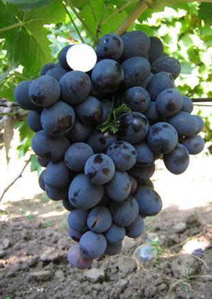 Виноград Хаджи Мурат фото , описание сорта