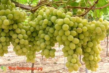 Сорт винограда Фаворит