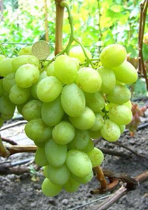 Сорт винограда Валек, описание , фото