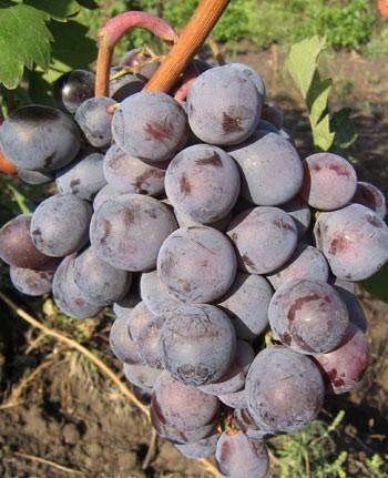 описание и фото винограда долорес