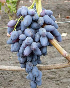 виноград памяти негруля описание фото