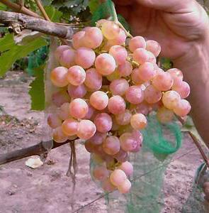 виноград Нимранг описание фото