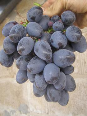 Виноград Мавр фото описание