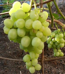 виноград супер-экстра описание сорта фото