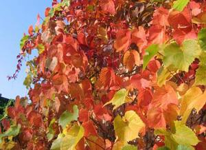виноград амурский в ландшафте