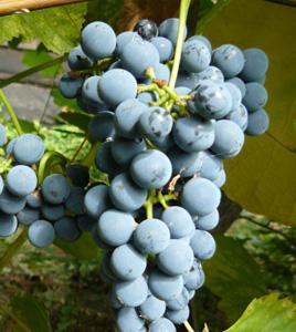 виноград таежный описание, фото сорта
