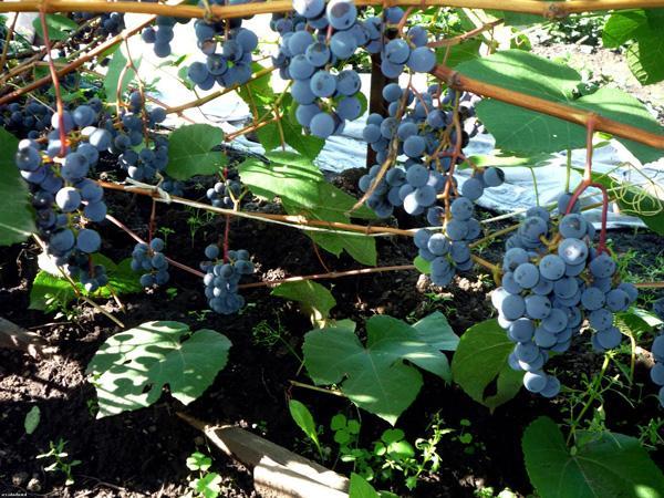 сорта винограда для алтая