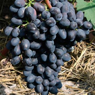 Виноград Чарли описание фото сорта