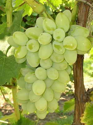 виноград мускат белый фото описание