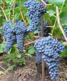 виноград памяти домбковской фото описание