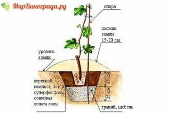 Shema-posadki-sazhentsev-vyrashhennyh-iz-cherenkov (2)