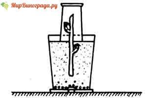 Проращивание саженцев в стаканах
