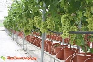 Виноград гидропоника капельный полив