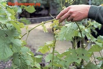 чеканка виноградной лозы