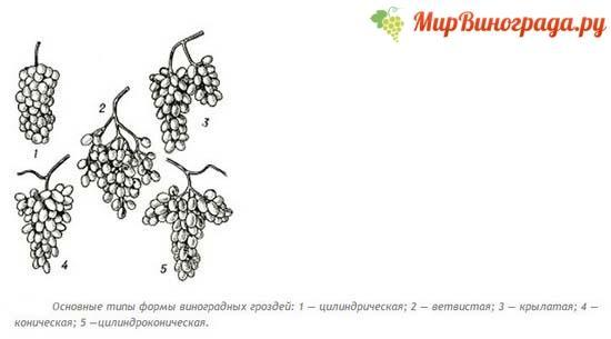 Гроздь винограда, виды гроздей