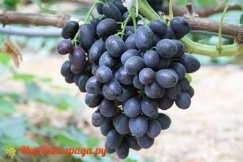 Винограда Аленушка