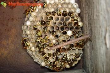 Осиные гнезда