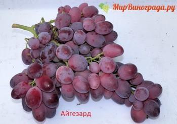 Виноград Айгезард