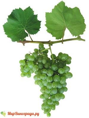 Виноград Аврора Магарача