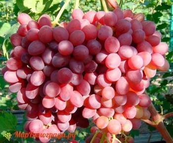 Виноград Азалия