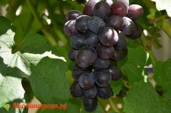 Виноград Бастра