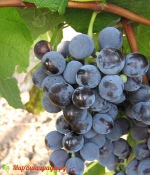 Виноград Буффало
