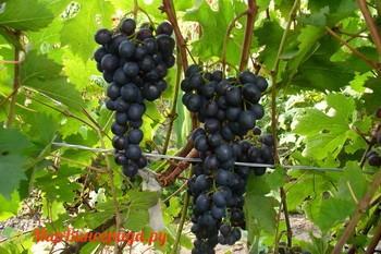 Виноград Дачный