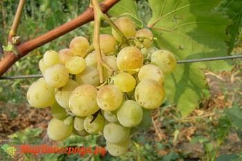 Виноград Донские зори