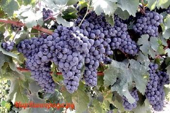 Виноград Гармония