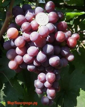 Виноград Герман