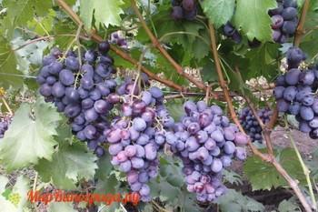 Виноград Глаша